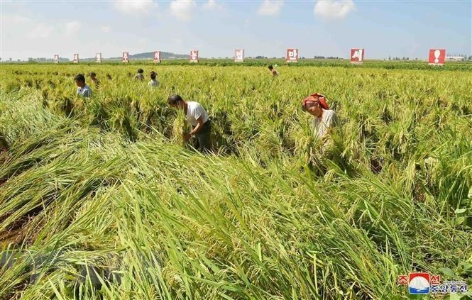 This undated file photo, released by North Korea's official Korean Central News Agency on Sept. 9, 2019, shows farmers picking up fallen rice at a paddy after the powerful Typhoon Lingling passed through the Korean Peninsula on Sept. 7. (KCNA-Yonhap)