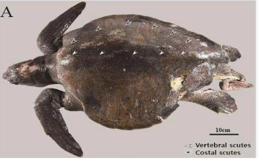 Shown in this file photo released by the Ministry of Oceans and Fisheries on Tuesday, is an olive ridley sea turtle. (Ministry of Oceans and Fisheries)