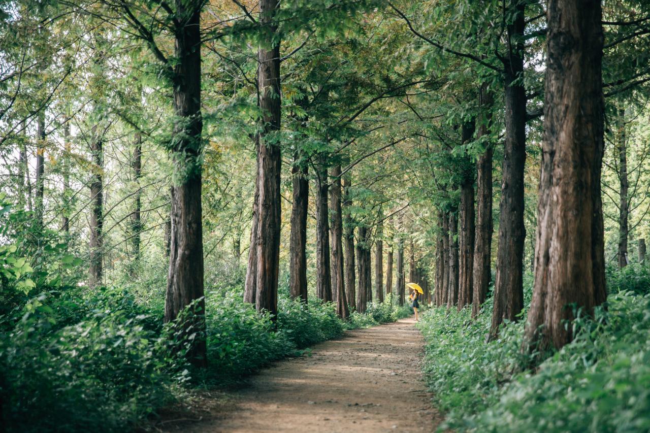 Metasequoia Forest Park in Mapo-gu, Seoul (Korea Tourism Organization)