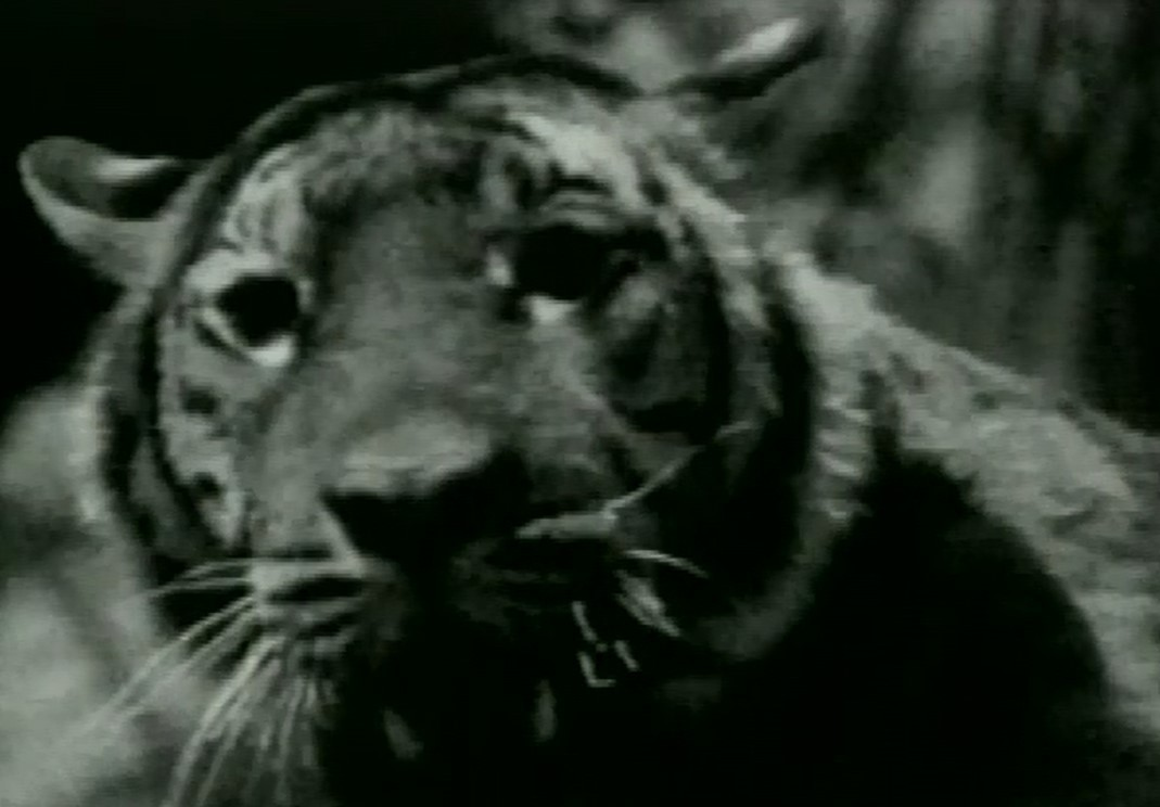 "Screen image of ""Tiger Lives"" by Paik Nam-june (Gyeonggi Cultural Foundation)"
