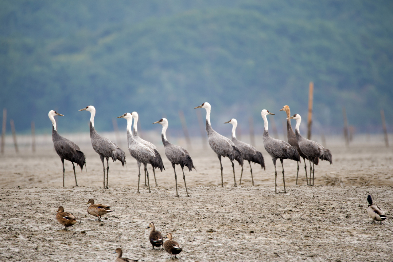 Migratory waterbirds rest at Suncheon gaetbeol in South Jeolla Province. The tidal flat is one of South Korea's newly listed UNESCO world heritage sites. (Yonhap)