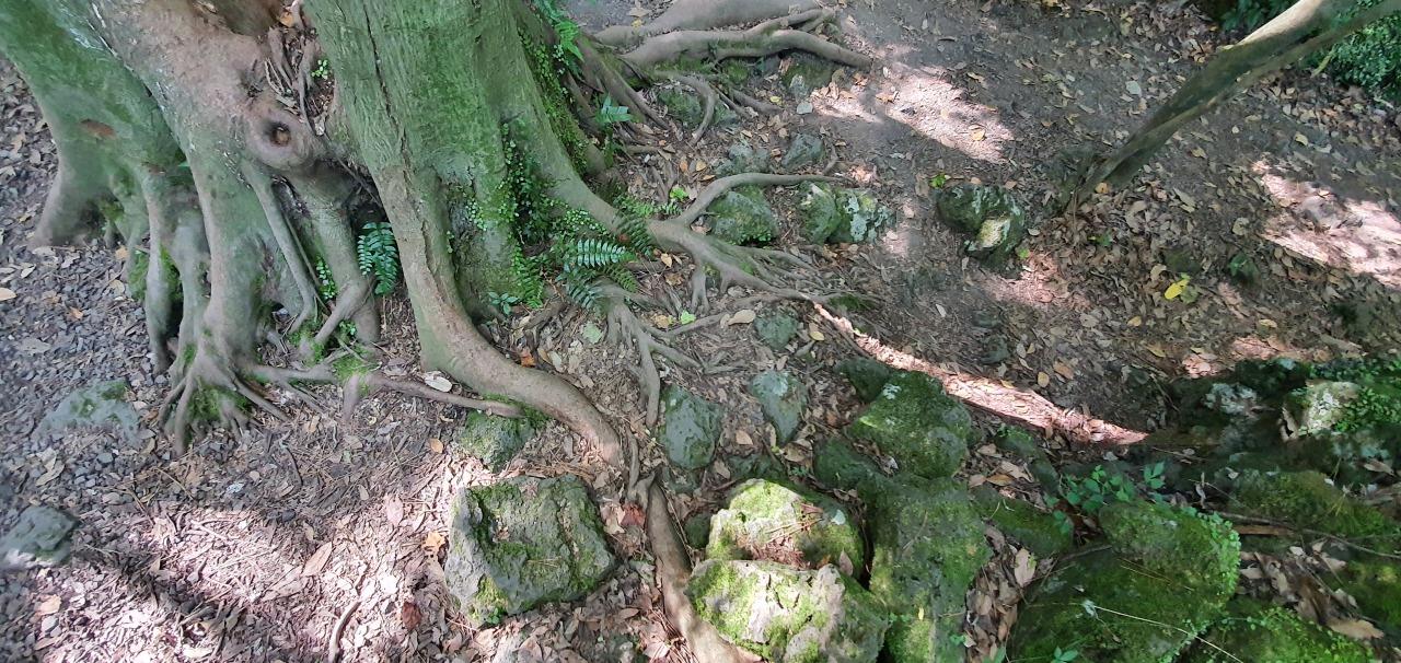 Tree roots are exposed above ground. (Kim Hae-yeon/The Korea Herald)