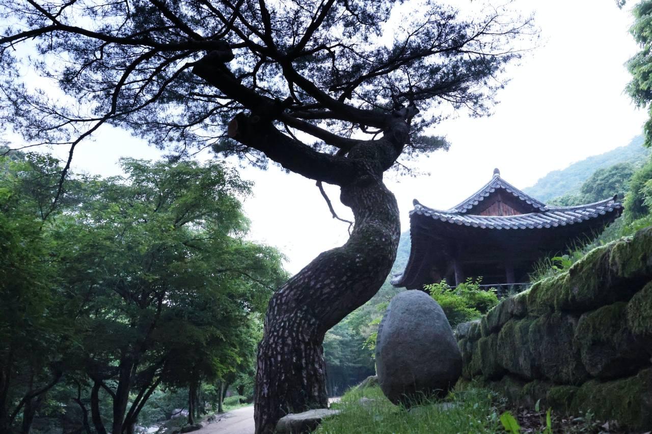 The dancing tree at the Mungyeongsaejae Provincial Park. ©2021 Hyungwon Kang