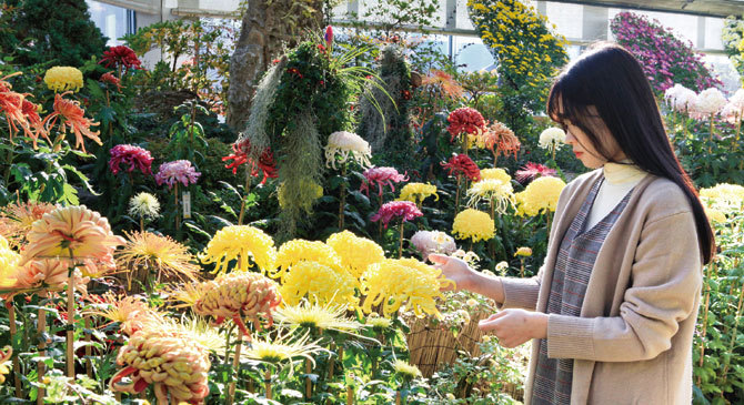 A visitor enjoys the chrysanthemums on view at the Garden of Morning Calm in Gapyeong, Gyeonggi Province. (Garden of Morning Calm)