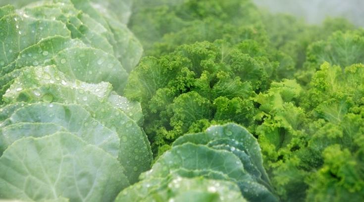 쌈 채소의 강자, 깻잎 vs 상추