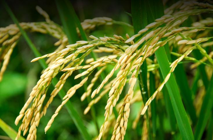 쌀-메콩 델타의 농지가 사라진다