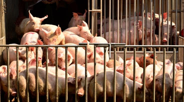유산균 먹은 돼지, 돈육 맛도 달라져
