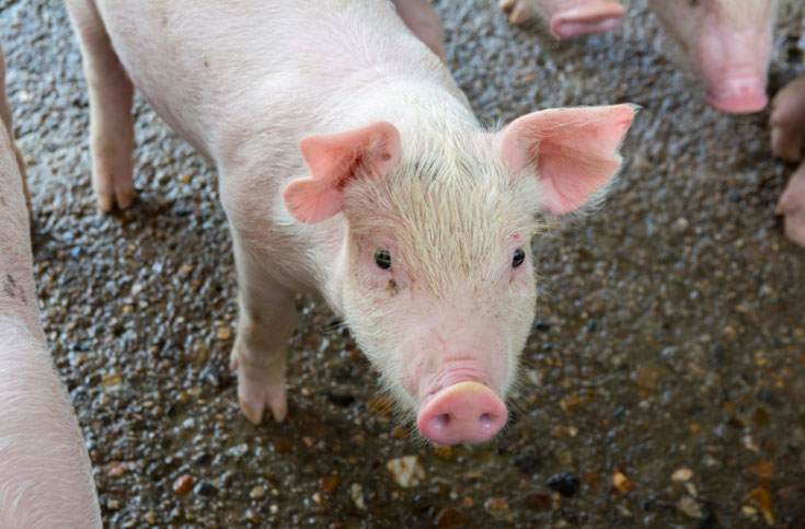 아프리카돼지열병 '비상', 돼지고기 먹어도 될까?