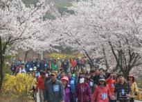 16일 '장봉도 벚꽃축제' 개최