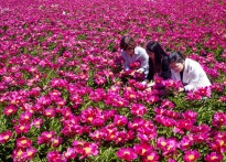 [포토뉴스]우아한 작약꽃, 5월을...