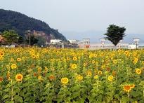 [포토뉴스]의성 낙단보 12만본 해...