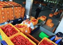 영양홍고추 수매 시작…특등 1㎏...