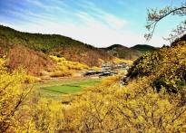 노란봄빛 물든 의성군 화전리 산...