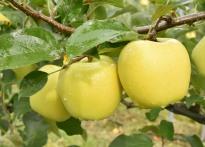 [포토뉴스]황금사과가 무르익어가...