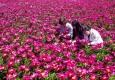 [포토뉴스]우아한 작약꽃, 5월을..