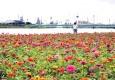 포항 형산강변 백일홍 만개