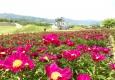 [헤럴드 포토]우아한 작약꽃, 5월..