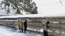 [포토뉴스]눈 이불 덮은 울릉도 오징어