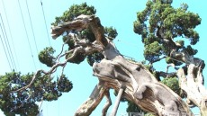 파도에 밀려간 울릉도 향나무 울진에서 천연기념물 됐다.