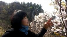 [포토뉴스]섬 벚꽃이 만개한 울릉도 예림원