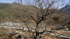 천연기념물 안동 굴참나무 복제한다