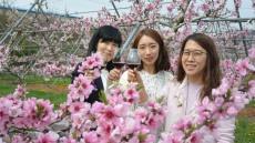 영천와이너리, '복사꽃에 취하는 날' 팜파티 개최