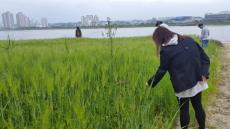포항 형산강변 '청보리밭 초록 물결 넘실'