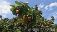 [포토뉴스]완연한 가을, 파란 하늘 아래 토종배가 익어간다.