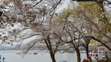 경주 보문관광단지 '벚꽃으로 활기넘쳐'