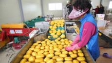 성주참외 말레이시아 수출확대 급물살