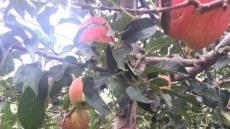 봉화군 우박피해 사과 가공용 수매지원 나서