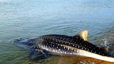 영덕 강구해안서 거대고래상어발견, 바다로 돌려보내