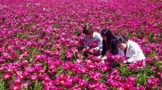 [포토뉴스]우아한 작약꽃, 5월을 수놓다