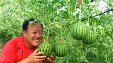 포항 농기센터, 깎아 먹는 애플수박 시범재배 성공....이달말 출하