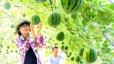 안동서 깎아먹는 애플수박 재배 성공…크기 작아 인기