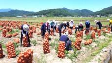 경북농협,양파수확현장에서  구슬땀