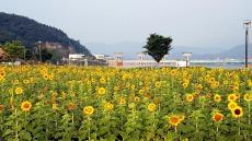 [포토뉴스]의성 낙단보 12만본 해바라기 만개