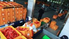 영양홍고추 수매 시작…특등 1㎏ 4200원