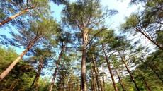 울진 금강소나무 숲, '가을여행주간' 가족단위 국내관광지 선정