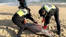 강릉 경포해변서 100kg 참돌고래 사체 발견...포획흔적 없어