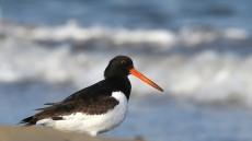 포항 송도해수욕장 찾은 천연기념물 검은머리물떼새
