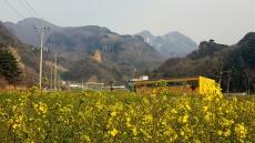 [헤럴드 포토]'노란 유채꽃'~ 꽃샘추위에 봄소식 전해요