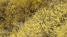 산수유 만발한 꽃피는 산골,노란봄빛 물든 의성군 화전리로 오세요