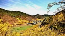 노란봄빛 물든 의성군 화전리 산수유 축제 마음껏 즐겨보자