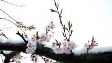 [헤럴드 포토]눈 이불 덮은 연분홍 벚꽃