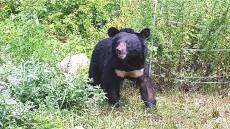 수도산 반달가슴곰 서식지 확대위해 김천시 곰 장가좀 보내주세요