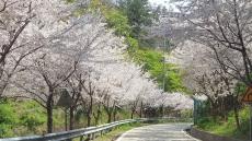 [이사람]울릉도 유일 벚꽃길 조성한 최수영 전 울릉군  울릉읍장