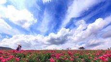 [헤럴드 포토]의성군 조문국사적지 작약꽃 장관