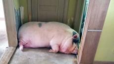 아파트 살던 300kg 거구 애완용 돼지 구출하라