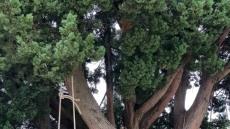 [헤럴드 포토]옥수수타래 건조.....정겨운 농촌 풍경